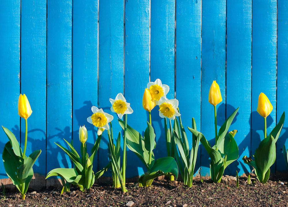 Flowers in front of blue fence