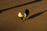 A rooster crosses the road in Kuai, Hawaii.