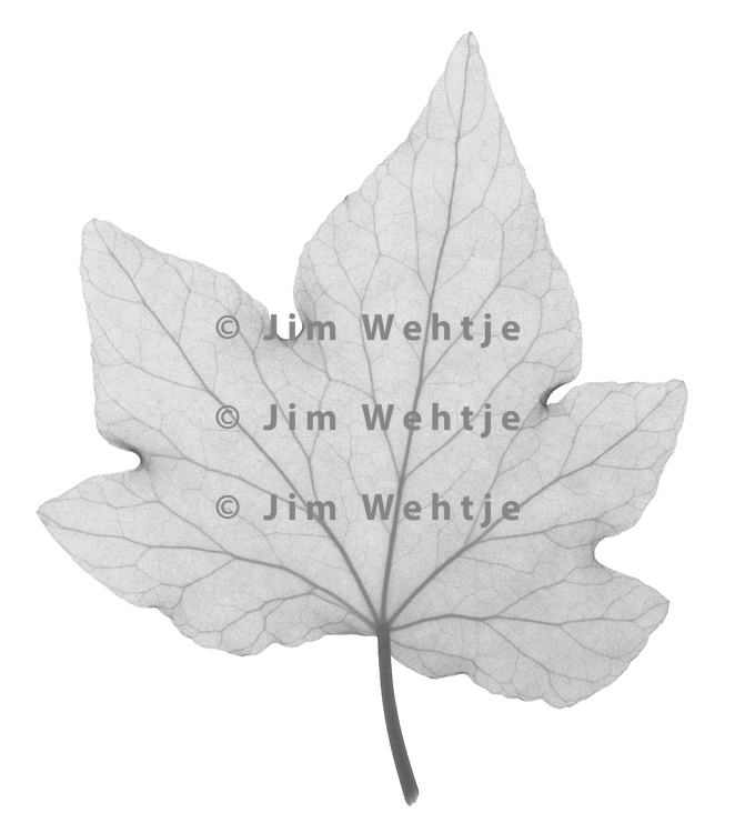 X-ray image of an English ivy leaf (Hedera helix, black on white) by Jim Wehtje, specialist in x-ray art and design images.