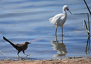 Birds in shallow waters at the Riparian Preserve in Gilbert, AZ