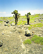 Cactus growing on barren ground, Galapagos Islands
