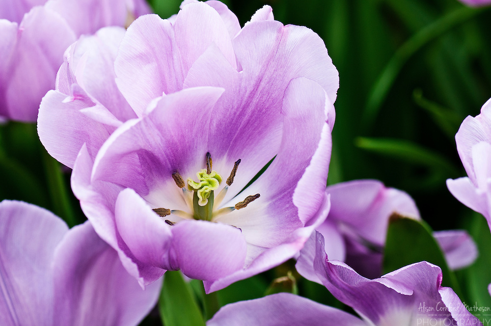 Tulipa 'Alibi'