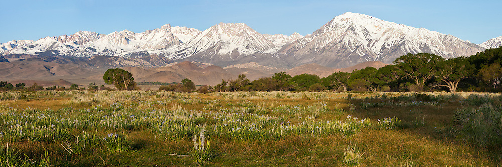 The peaks of the Eastern Sierra tower over an iris field outside of Bishop, CA.