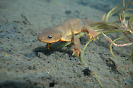 Rough-Skinned Newt<br />