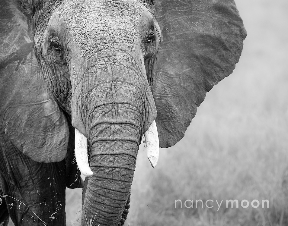 Beautiful elephant gazing at us in the Masai Mara, in black and white.<br />