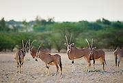 Rare Arabian Oryx, Oryx leucoryx, endangered species in Qatar, The Gulf States