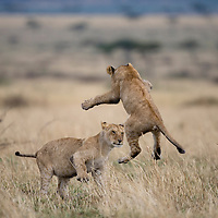 Africa, Kenya, Masai Mara Game Reserve, Young Lion (Panthera leo) leaps while playing and running in tall grass on ssvanna