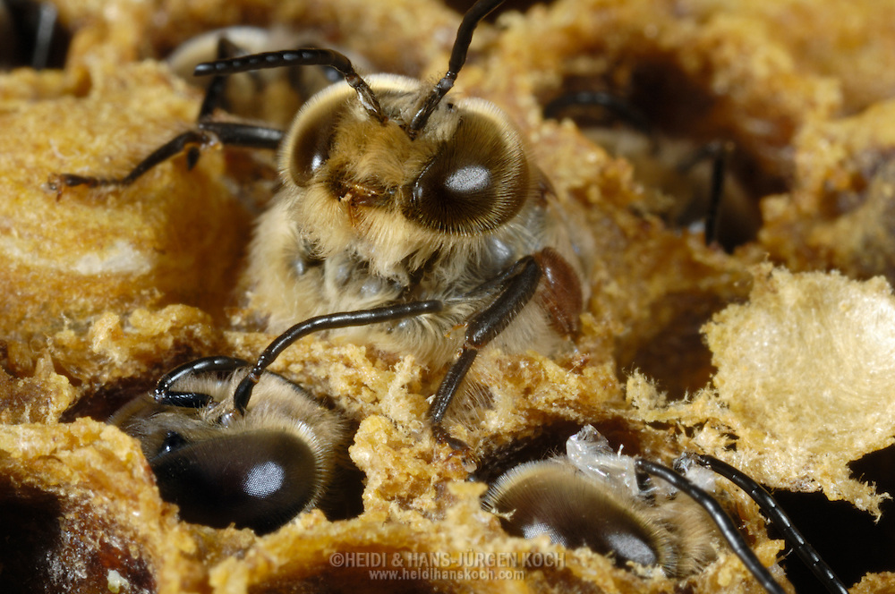 DEU, Deutschland: Biene, Honigbiene (Apis mellifera), mehrere Drohnen, männliche Bienen, schlüpfen aus ihren Brutzellen, Drohnen werden nur zur Fortpflanzungszeit produziert. Ihr einziger Daseinszweck ist die Begattung von Weibchen, Bienenstation an der Bayerischen Julius-Maximilians-Universität Würzburg | DEU, Germany: Bee, Honey-bee (Apis mellifera), some drones (males) hatching out of their brood cells, Beestation at the Bavarian Julius-Maximilians-University Würzburg