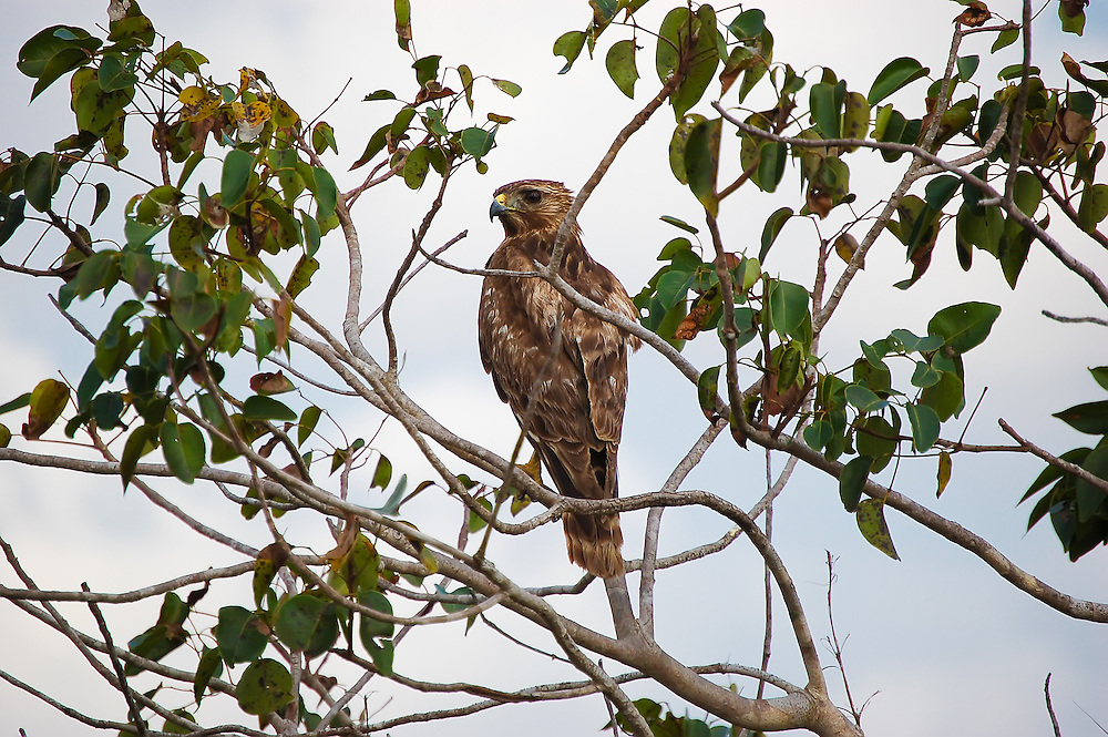 Broad-winged hawk in the Florida Everglades. I had to chase him through a very muddy patch of swamp, but it was worth it for this shot.