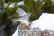 01569-01715 Dark-eyed Junco (Junco hyemalis) in winter. Marion Co. IL