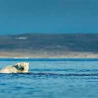 Canada, Nunavut Territory, Repulse Bay, Polar Bear (Ursus maritimus) wading into shallows along Hudson Bay shoreline