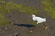 Snowy Egret, Back Bay, North America