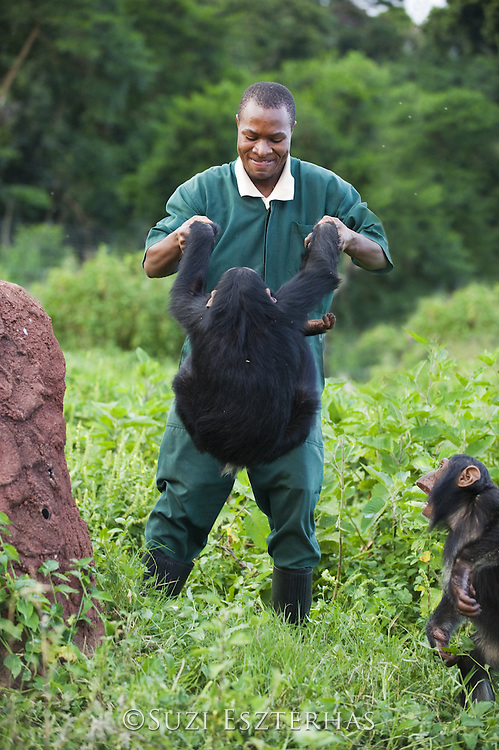 Chimpanzee<br /> Pan troglodytes<br /> Bruce Ainebyona (Caretaker) playing with rescued chimpanzee(s)<br /> Ngamba Island Chimpanzee Sanctuary<br /> *Model release available - release # MR_011<br /> *Captive