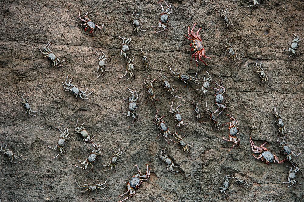 Sally Lightfoot Crabs (Grapsus grapsus)<br /> Buccaneer Cove, Santiago Island<br /> Galapagos<br /> Ecuador<br /> South America