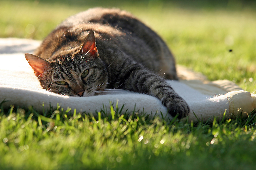 Stra&szlig;en- und Hauskatze Speedy auf einer Decke im Garten.<br /> <br /> Street- and housecat Speedy on a ceiling in the garden.