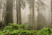 Lady Bird Johnson Grove Trail in Fog At Redwood Grove