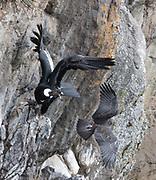 Andean Condor; Vultur gryphus; female; Ecuador, Prov. Pichincha, Antisanilla Reserve
