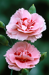 Dianthus 'Doris'<br /> Carnation, pink