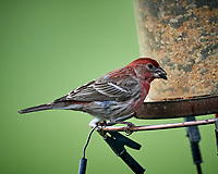 House Finch at a birdfeeder. Image taken with a Nikon D5 camera and 600 mm f/4 VR lens (ISO 1600, 600 mm, f/5.6, 1/1000 sec).