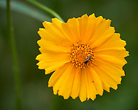Lance-leaf Coreopsis. Image taken with a Leica CL camera and 90-280 mm lens.