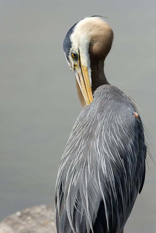 Great Blue Heron, Ladner, British Columbia