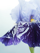 Iris 'Millenium Falcon' - tall bearded iris
