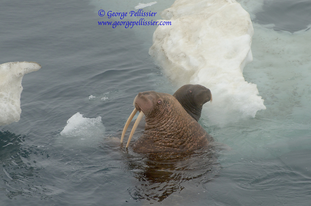 A male and female pair of Walrus rest on the ice in the Bering Sea, Alaska.