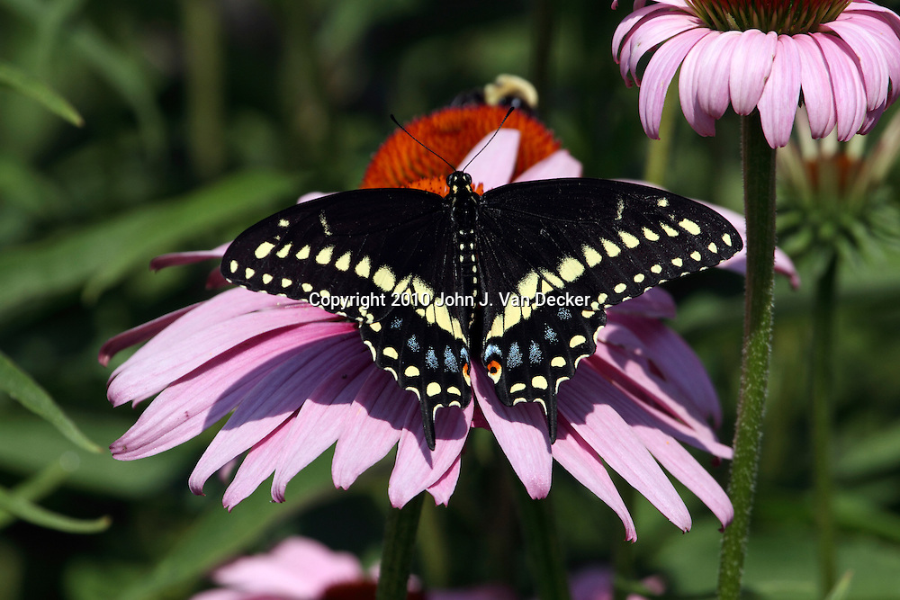 Black Swallowtail Butterfly male, Papilio polyxenes, with wings spread on a Purple Coneflower, Echinacea purpurea. New Jersey, USA, North America. The male Black Swallowtail butterfly is identifiable by the pronounced secondary yellow banding on its wings.