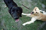 Portrait von Golden Retriever Lemmy mit seinem Sohn Shimon (links). Der Golden Retriever ist ein intelligenter, freudig arbeitender Hund, dem auch extreme, nasskalte Witterungsbedingungen nichts ausmachen. Dem steht allerdings eine relativ starke Empfindlichkeit hinsichtlich hoher Temperaturen gegenüber. Grundsätzlich ist die Rasse ruhig, geduldig, aufmerksam und niemals aggressiv.<br /> <br /> Golden Retriever Lemmy.