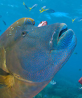 Photos from the Great Barrier Reef near Cairns and the Ribbon Reefs by Lizard Island. Napoleon wrasse, potato cod and dwarf minke whales (seasonal) can be seen in this Australia icon.