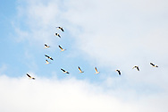 Geese flying in formation over a lagoon of Villafáfila.