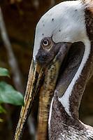 Brown pelican at Belize Zoo