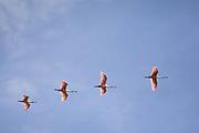 Roseate Spoonbill<br /> Platalea ajaja<br /> Pantanal, Brazil