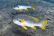 Yellow banded sweetlips (Plectorhinchus lineatus)