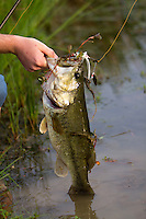 LARGEMOUTH BASS CAUGHT ON A WHITE SPINNERBAIT BEING HELD BY AN ANGLER
