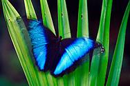 Morpho butterfly, Manu National Park, Peru