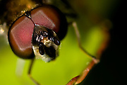 Hoverfly and its many compound eyes.