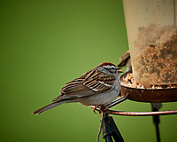 Chipping Sparrow feeding at a bird feeder. Image taken with a Nikon D5 camera and 600 mm f/4 VR lens (ISO 1600, 600 mm, f/4, 1/250 sec)