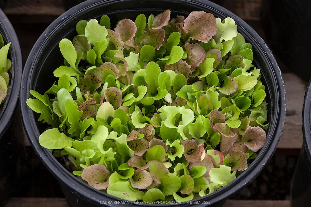 'Bon Vivant' lettuce seedlings  that will be soon harvested as microgreens.