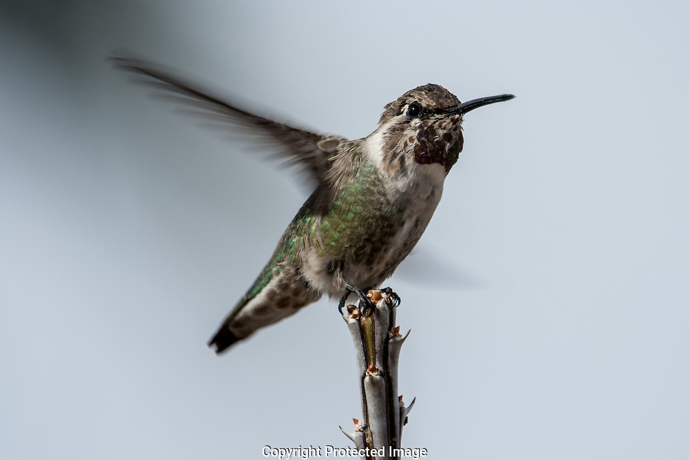 Precarious landing requires the flying skills of the agile Costa's Hummingbird