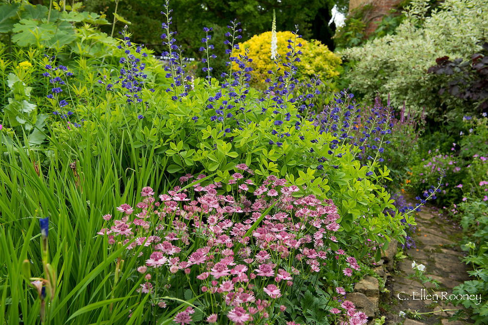 A border planted with Astrantia 'Roma' and Baptisia australis (Blue False Indigo) in East Lambrook Manor Gardens, South Petherton, Ilminster, Somerset, UK