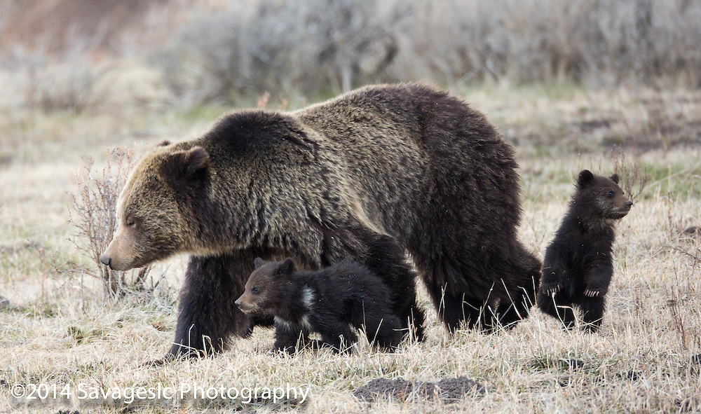 Grizzly bear with cubs. May 2014