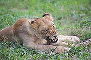 A young male lion (Panthera leo) chews on a piece of wood in the Okavanga Delta region of Botswana.