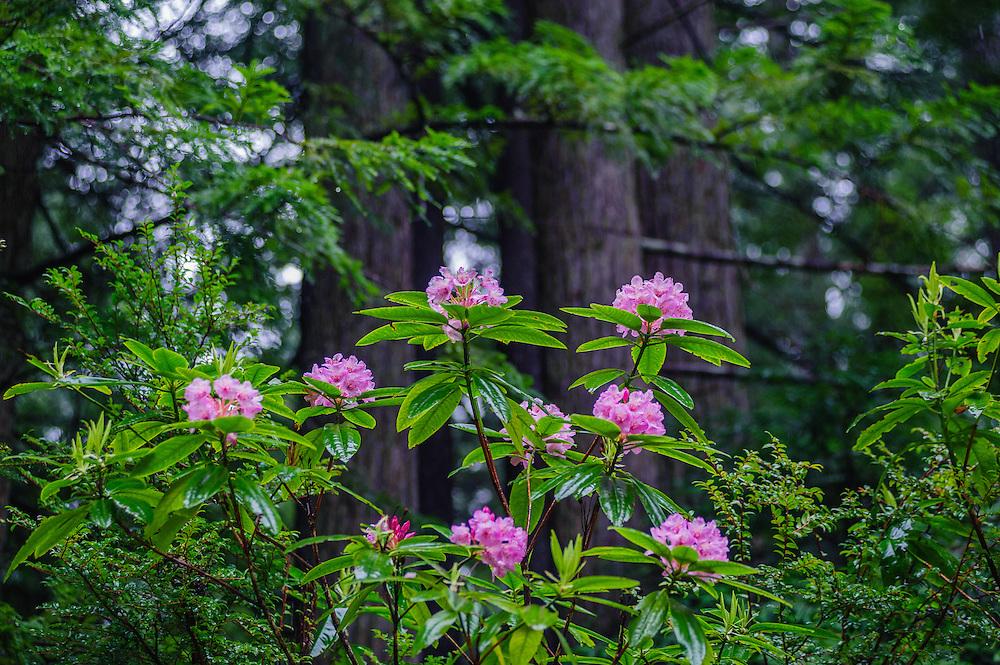 Rhododendron, Del Norte Coast Redwood State Park, Crescent City, CA