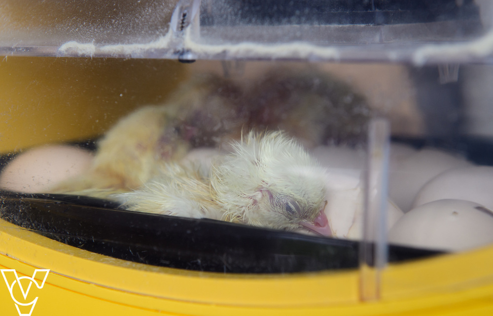 As part of Open Farm Sunday, May Park's Barr Farm in Billinghay, Lincolnshire, was open to the public.  Pictured are chicks in an incubator hatching.<br /> <br /> PIcture: Chris Vaughan Photography<br /> Date: May 21, 2017
