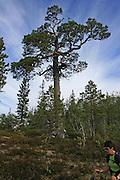 Sildratur, fra Vekta i Selbu til Sildra øverst i Sondalen i Stjørda, innom mange gamle setervoller i anledning Kulturminneåret. Furu. Foto: Bente Haarstad Norwegian forest and different trees. Furu, Pinus sylvestris.