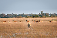 A male lion approaches a group of Lechwe antelope in front of Kwetsani camp, Okavango Delta, Botswana / León se aproxima a un grupo de antílopes Lechwe, campo Kwetsani, Delta del Okavango, Botwsana