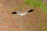 An American Avocet raises its wings letting me know that I am close to its nest.