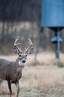 Immature whitetail buck near a protein feeder