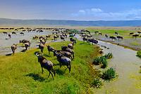 Large numbers of blue wildebeest (gnu), Ngorongoro Crater, Ngorongoro Conservation Area, Tanzania
